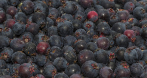 Rocky Mountain Blueberries