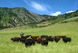 Weiser River Cattle