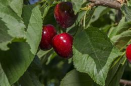 Cherries_Pace_138