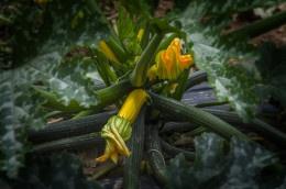 Zucchini_Yellow_Pace_001