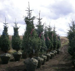reggear tree farm