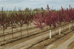 Trees_flowering